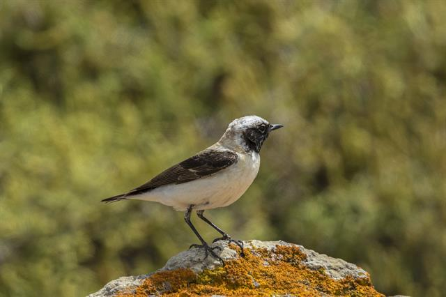 Black-eared Wheatear (Oenanthe hispanica)