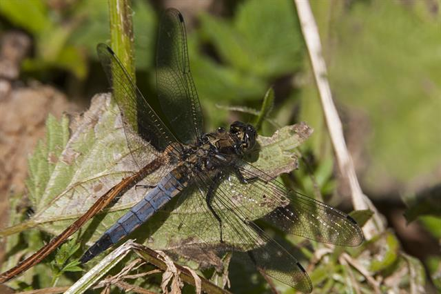 Black tailed Skimmer (Orthetrum cancellatum)