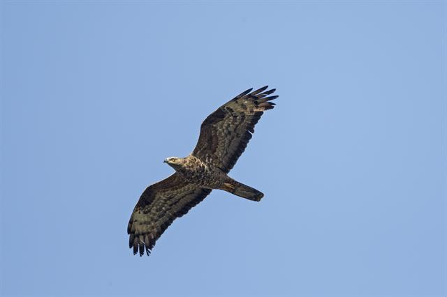 European Honey-buzzard (Pernis apivorus)