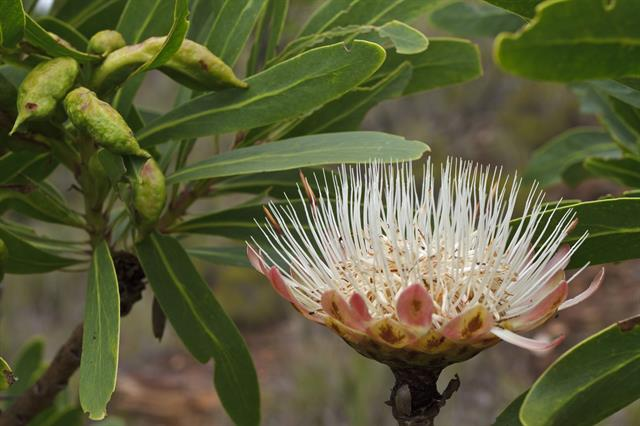 Common Sugar Bush (Protea caffra)
