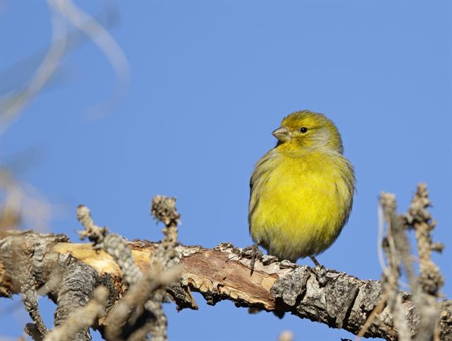Atlantic Canary (Serinus canaria)