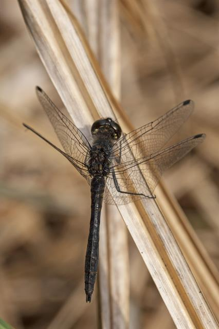 Sympetrum danae photo