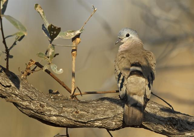 Emerald-spotted Wood Dove (Turtur chalcospilos)
