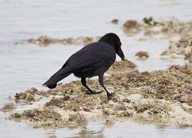 Jungle crow (Corvus macrorhynchos) photo
