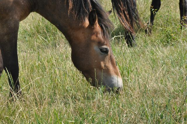 Equus caballus (Exmoor pony) photo