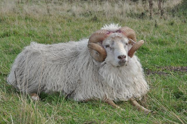 Ovis aries (Islandsk faar) photo