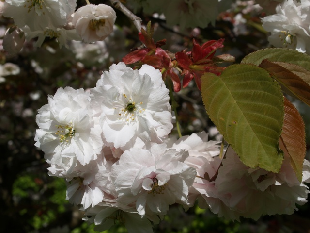 Japanese Cherry (Prunus serrulata)