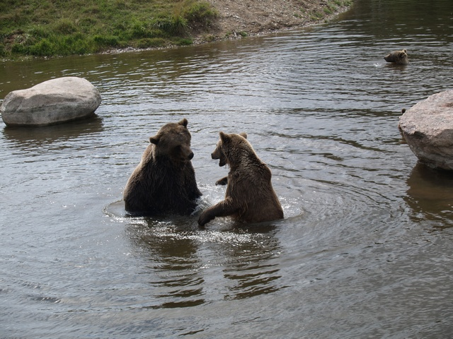 Bear, Brown Bear (Ursus arctos)