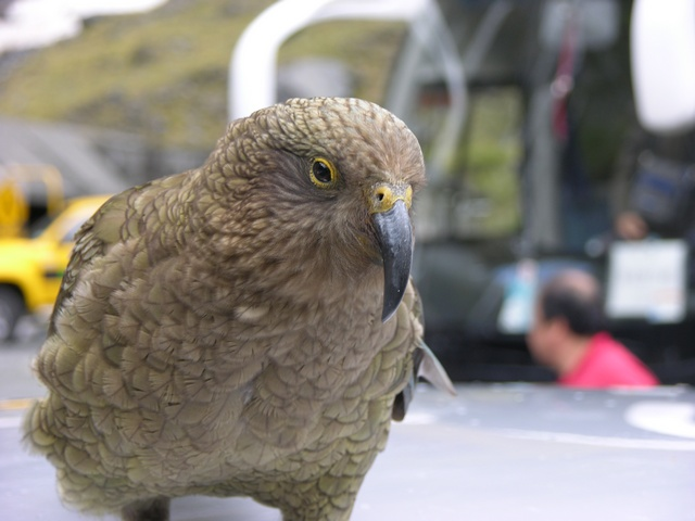 Kea, Mountain Parrot (Nestor notabilis) photo
