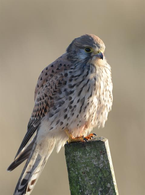 Kestrel (Falco tinnunculus) photo