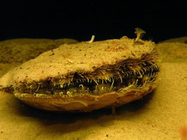 King scallop, Great scallop (Pecten maximus) photo