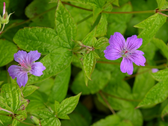 Knotted Crane´s-bill (Geranium nodosum) photo
