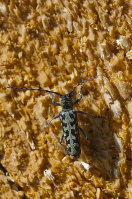 Ladder-marked Longhorn Beetle (Saperda scalaris) photo