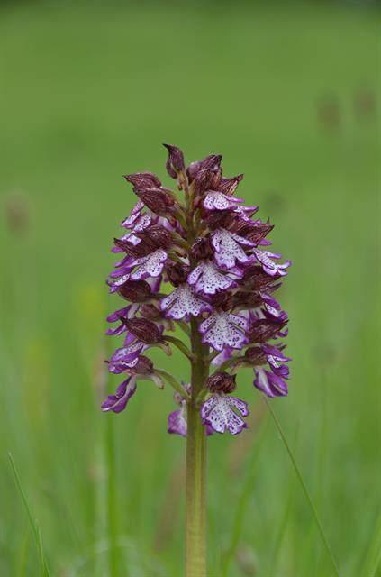Lady Orchid (Orchis purpurea) photo