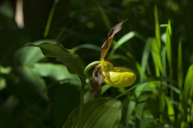 Lady Slipper Orchid (Cypripedium calceolus) photo