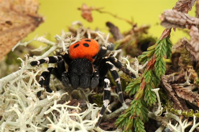 Ladybird Spider (Eresus sandaliatus) photo