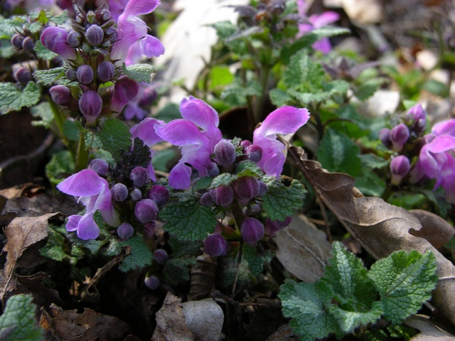 Lamium maculatum (cultiv) photo