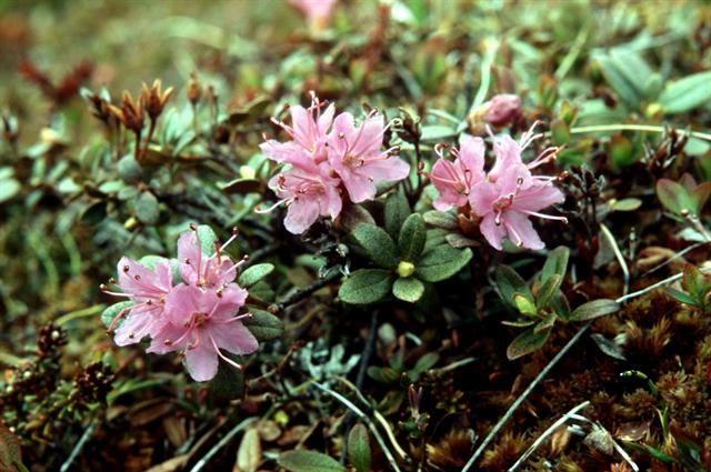 Lapland Rose-bay (Rhododendron lapponicum) photo