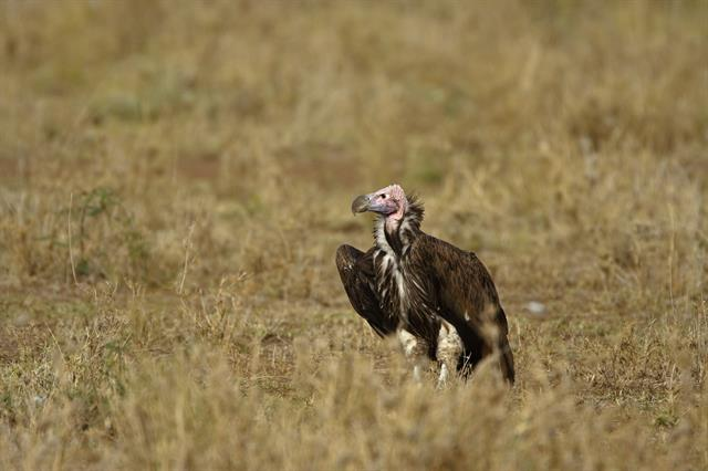 Lappet-faced Vulture (Aegypius tracheliotus) photo