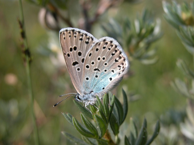 Large Blue (Maculinea arion) photo