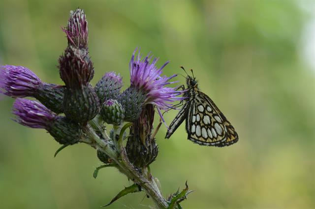 Large Checkered Skipper (Heteropterus morpheus) photo