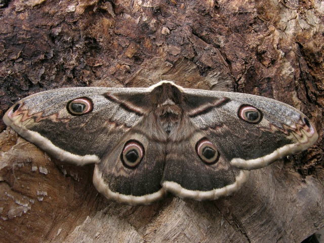 Large Emperor Moth (Saturnia pyri) photo