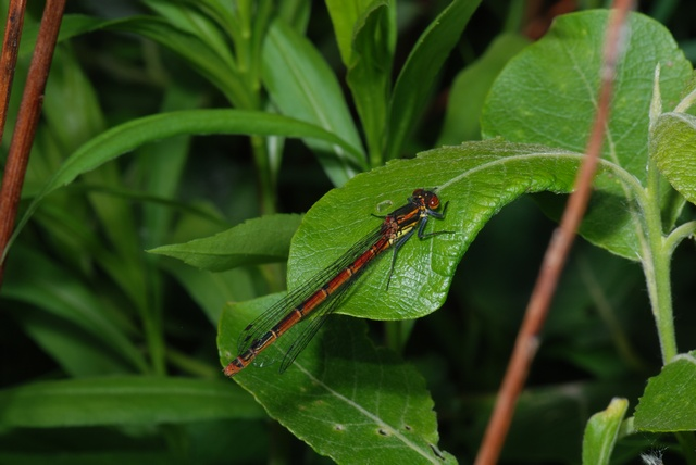 Large Red Damselfly (Pyrrhosoma nymphula) photo
