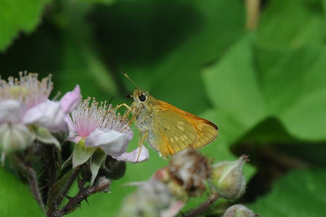 Large Skipper (Ochlodes sylvanus) photo