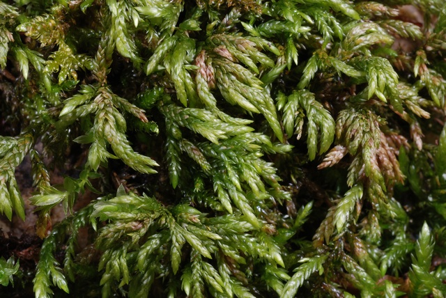 Larger Mouse-tail Moss (Isothecium alopecuroides) photo
