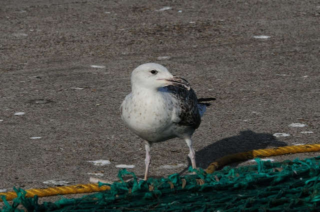Great Black-backed Gull (Larus marinus)