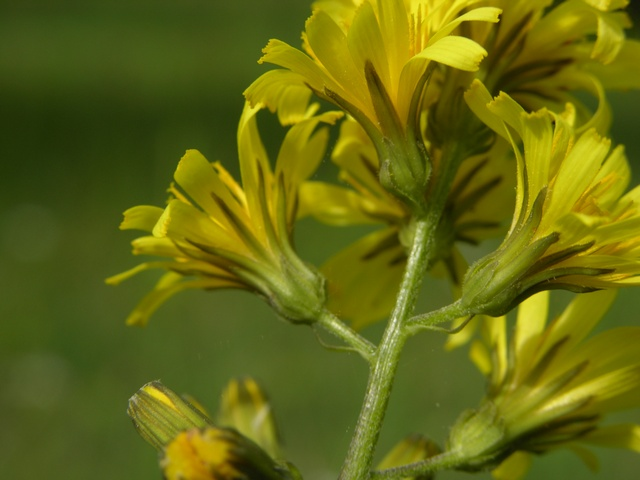 Leafless Hawk´s Beard (Crepis praemorsa) photo