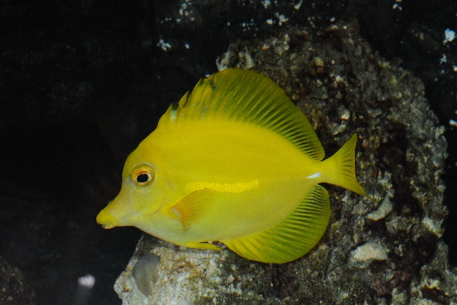 Lemon sailfin, Yellow sailfin tang (Zebrasoma flavescens) photo
