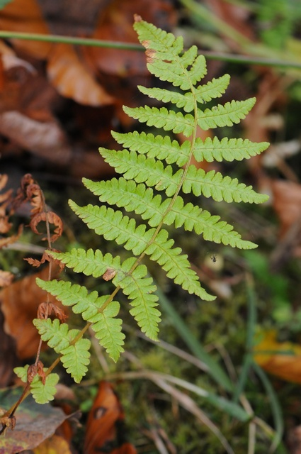 Lemon-Scented Fern (Oreopteris limbosperma) photo