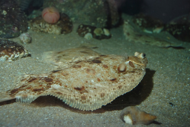 Lemon sole   (Microstomus kitt) photo