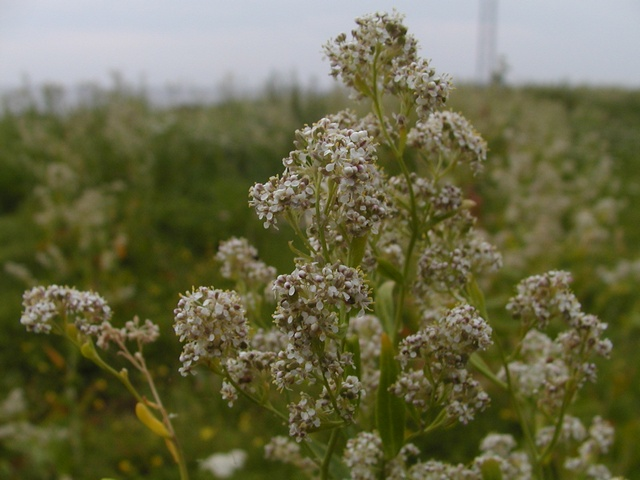 Image of Lepidium latifolium