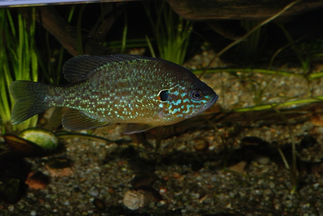 Common sunfish (Lepomis gibbosus)