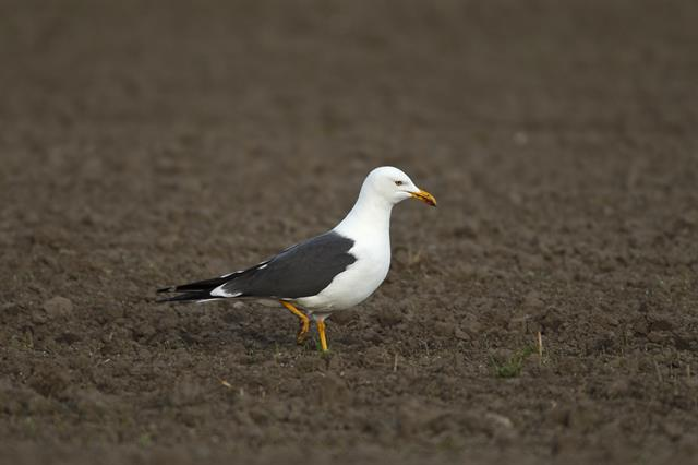 Lesser Black-backed Gull (Larus fuscus) photo