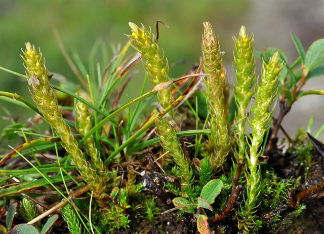 Lesser Clubmoss (Selaginella selaginoides) photo