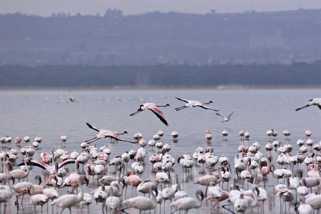 Lesser Flamingo (Phoenicopterus minor) photo