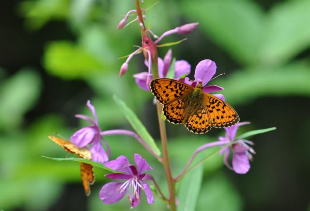 Lesser Marbled Fritillary (Brenthis ino) photo