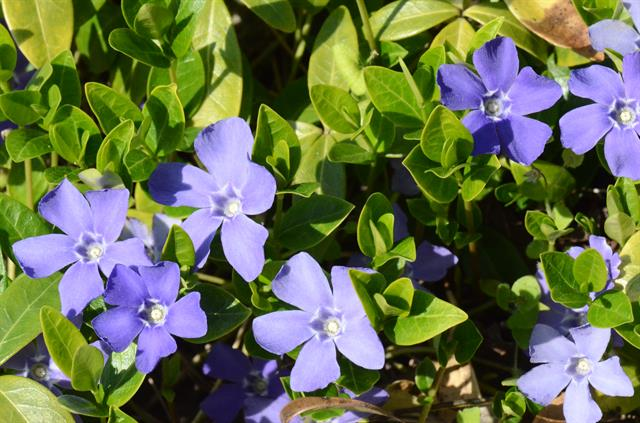 Lesser Periwinkle (Vinca minor) photo