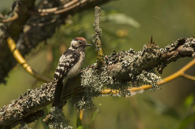 Lesser Spotted Woodpecker (Dendrocopos minor) photo