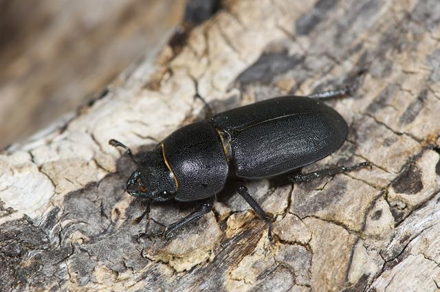 Lesser Stag Beetle (Dorcus parallelipipedus) photo