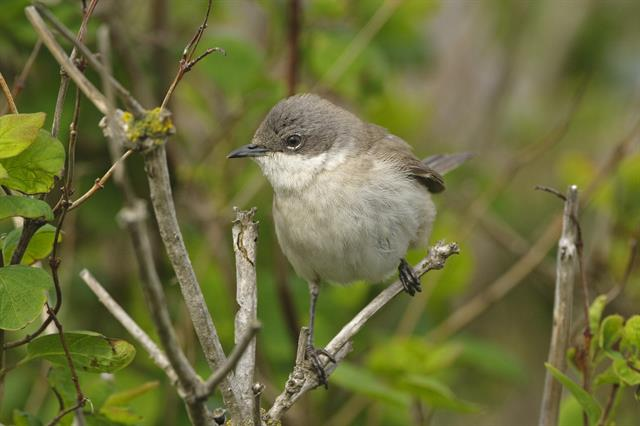 Lesser Whitethroat (Sylvia curruca) photo