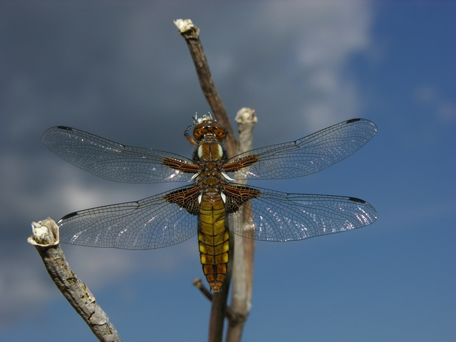 Broad-Bodied Chaser (Libellula depressa)