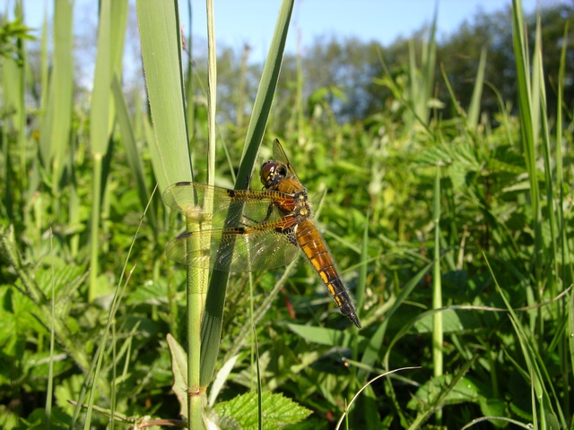 Four-spotted Chaser (Libellula quadrimaculata)