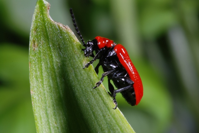 Lily Leaf Beatle (Lilioceris lilii) photo