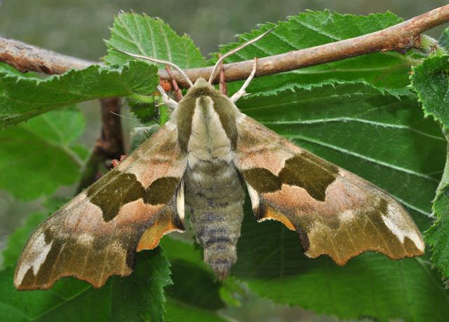 Lime Hawk-moth (Mimas tiliae) photo
