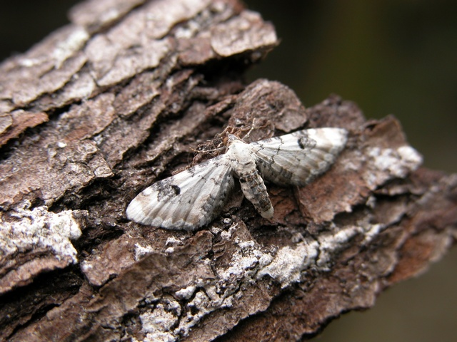 Lime-speck Pug (Eupithecia centaureata) photo