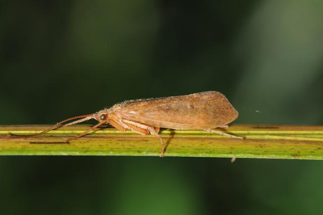 Limnephilus politus photo